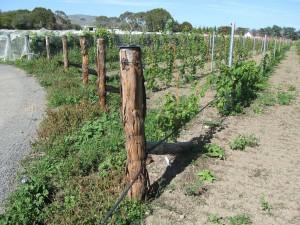 E cladocalyx posts in a Wairarapa vineyard