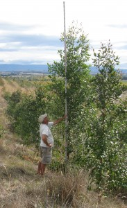 Grower Rick Alexander measures two-year old trees at a trial site on his property.