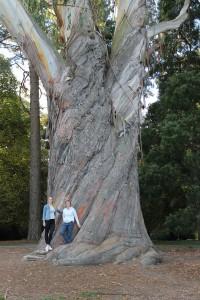 An early NZ eucalypt planting - E delgatensis, Hagley Park, Christchurch
