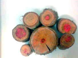 Varying heartwood in trees the same species and age.