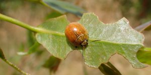 Biological control agent – release approved